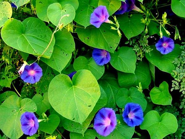 Tall Morning-Glory (Ipomoea Purpurea) https://www.sagebud.com/tall-morning-glory-ipomoea-purpurea