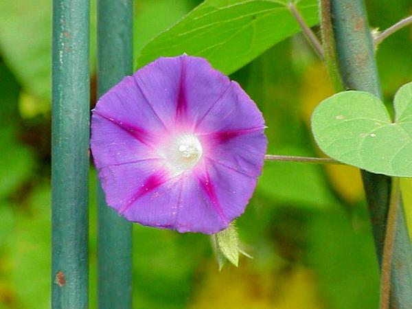 Tall Morning-Glory (Ipomoea Purpurea) https://www.sagebud.com/tall-morning-glory-ipomoea-purpurea