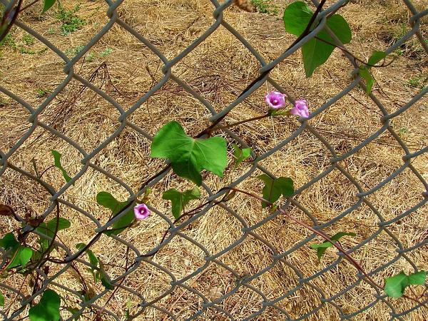 Littlebell (Ipomoea Triloba) https://www.sagebud.com/littlebell-ipomoea-triloba