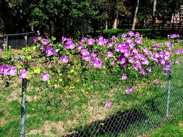 Grannyvine (Ipomoea Tricolor) https://www.sagebud.com/grannyvine-ipomoea-tricolor