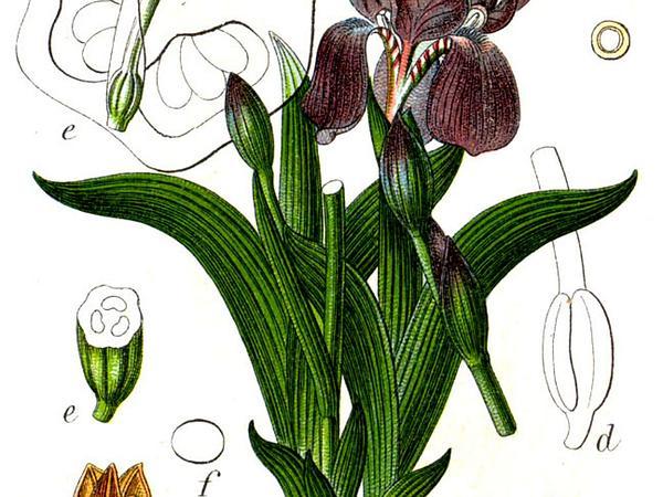 Stool Iris (Iris Aphylla) https://www.sagebud.com/stool-iris-iris-aphylla