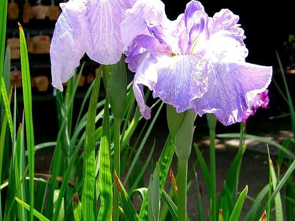Japanese Iris (Iris Ensata) https://www.sagebud.com/japanese-iris-iris-ensata