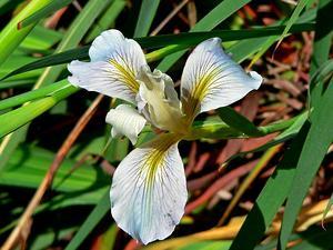 Fernald's Iris