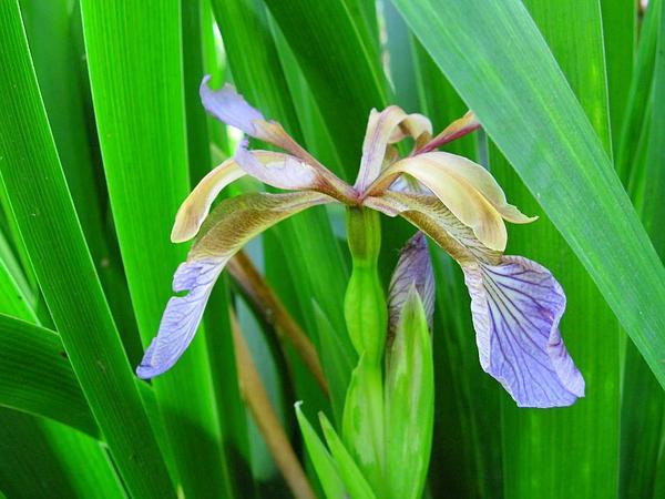 Stinking Iris (Iris Foetidissima) https://www.sagebud.com/stinking-iris-iris-foetidissima