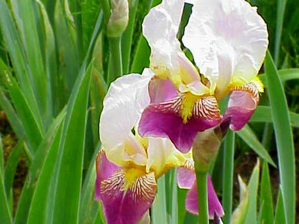 German Iris (Iris Germanica) https://www.sagebud.com/german-iris-iris-germanica