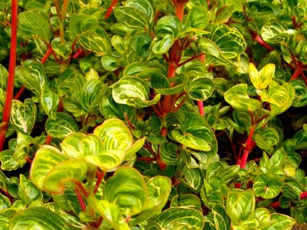 Herbst's Bloodleaf (Iresine Herbstii) https://www.sagebud.com/herbsts-bloodleaf-iresine-herbstii