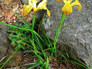 Del Norte County Iris