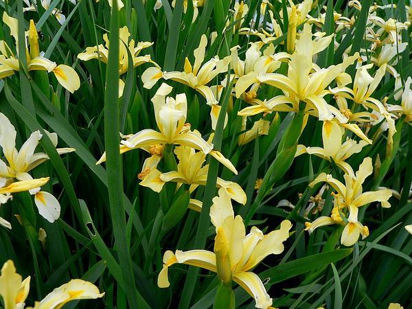 Yellowband Iris (Iris Orientalis) https://www.sagebud.com/yellowband-iris-iris-orientalis