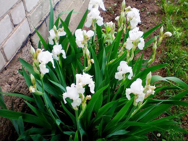 Sweet Iris (Iris Pallida) https://www.sagebud.com/sweet-iris-iris-pallida