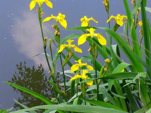 Paleyellow Iris (Iris Pseudacorus) https://www.sagebud.com/paleyellow-iris-iris-pseudacorus