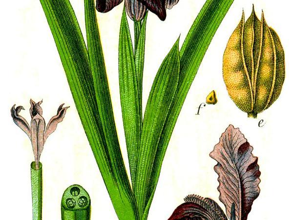 Dwarf Iris (Iris Pumila) https://www.sagebud.com/dwarf-iris-iris-pumila