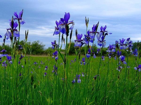 Siberian Iris (Iris Sibirica) https://www.sagebud.com/siberian-iris-iris-sibirica