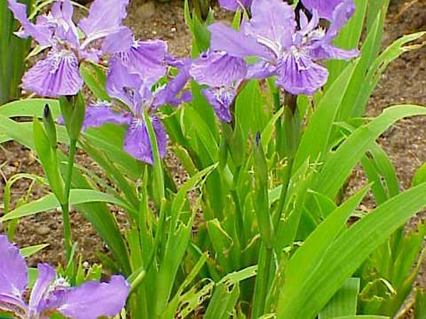 Wall Iris (Iris Tectorum) https://www.sagebud.com/wall-iris-iris-tectorum