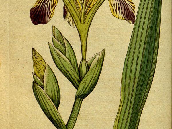 Hungarian Iris (Iris Variegata) https://www.sagebud.com/hungarian-iris-iris-variegata