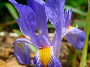 Dwarf Violet Iris
