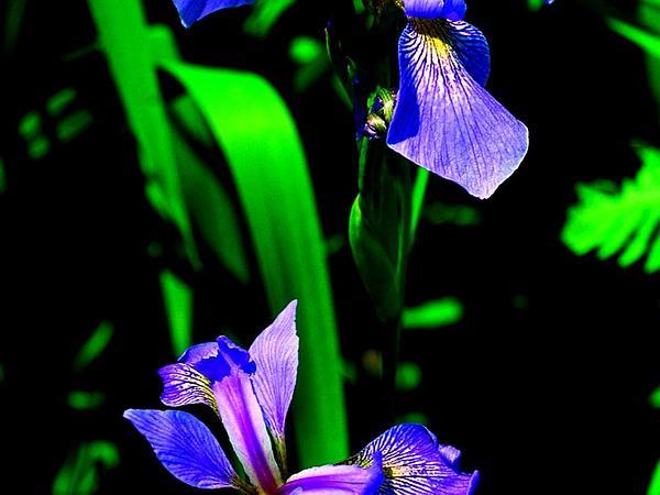 Harlequin Blueflag (Iris Versicolor) https://www.sagebud.com/harlequin-blueflag-iris-versicolor