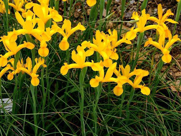 Spanish Iris (Iris Xiphium) https://www.sagebud.com/spanish-iris-iris-xiphium