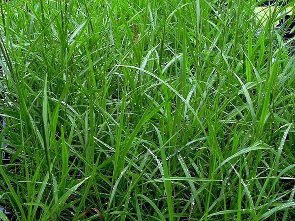 Hilo Murainagrass (Ischaemum Byrone) https://www.sagebud.com/hilo-murainagrass-ischaemum-byrone