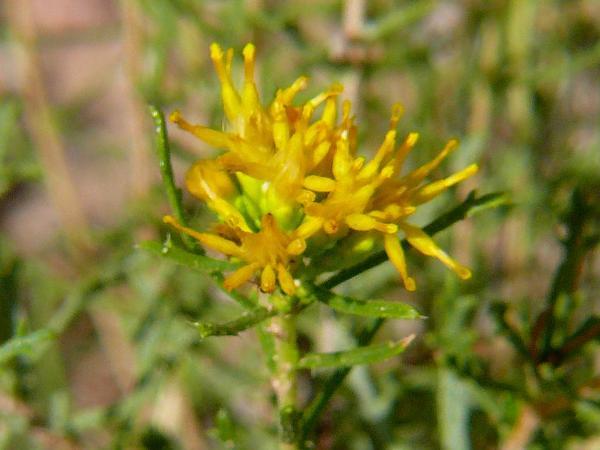 Goldenbush (Isocoma) https://www.sagebud.com/goldenbush-isocoma