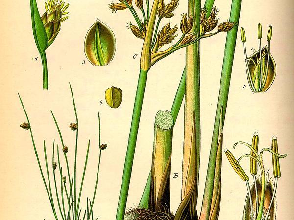 Bristleleaf Bulrush (Isolepis Setacea) https://www.sagebud.com/bristleleaf-bulrush-isolepis-setacea