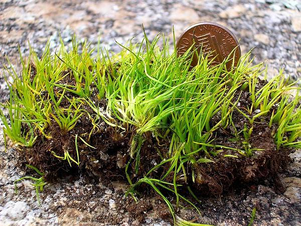 Merlin's Grass (Isoetes Tegetiformans) https://www.sagebud.com/merlins-grass-isoetes-tegetiformans