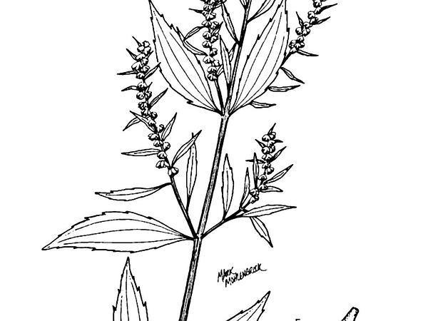 Marsh Elder (Iva) https://www.sagebud.com/marsh-elder-iva