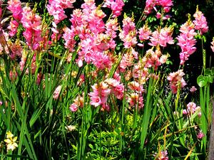 African Cornlily