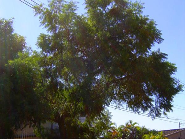 Jacaranda (Jacaranda) https://www.sagebud.com/jacaranda-jacaranda