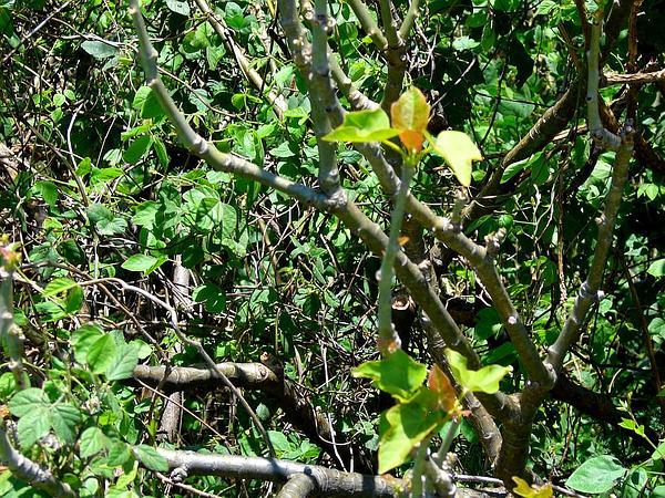 Barbados Nut (Jatropha Curcas) https://www.sagebud.com/barbados-nut-jatropha-curcas