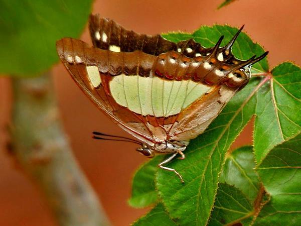 Bellyache Bush (Jatropha Gossypiifolia) https://www.sagebud.com/bellyache-bush-jatropha-gossypiifolia