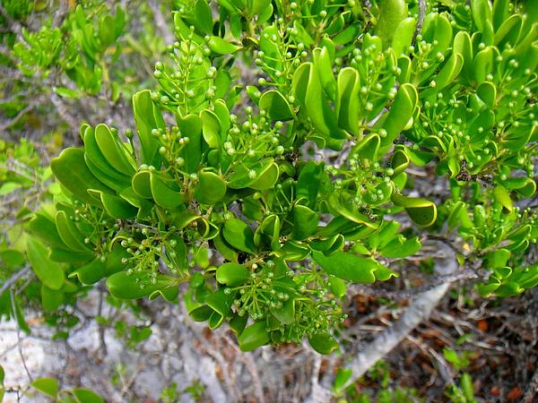 Joewood (Jacquinia Keyensis) https://www.sagebud.com/joewood-jacquinia-keyensis/