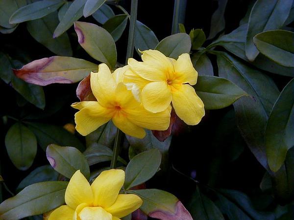 Japanese Jasmine (Jasminum Mesnyi) https://www.sagebud.com/japanese-jasmine-jasminum-mesnyi