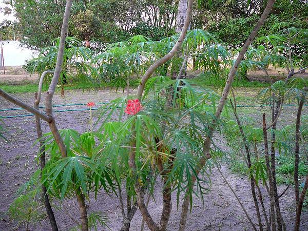 Coralbush (Jatropha Multifida) https://www.sagebud.com/coralbush-jatropha-multifida