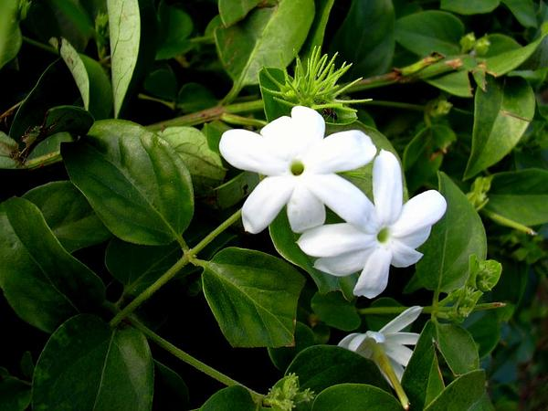 Star Jasmine (Jasminum Multiflorum) https://www.sagebud.com/star-jasmine-jasminum-multiflorum/
