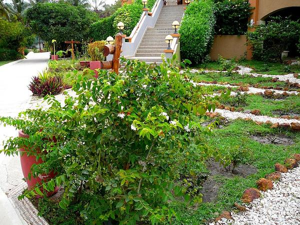 Arabian Jasmine (Jasminum Sambac) https://www.sagebud.com/arabian-jasmine-jasminum-sambac
