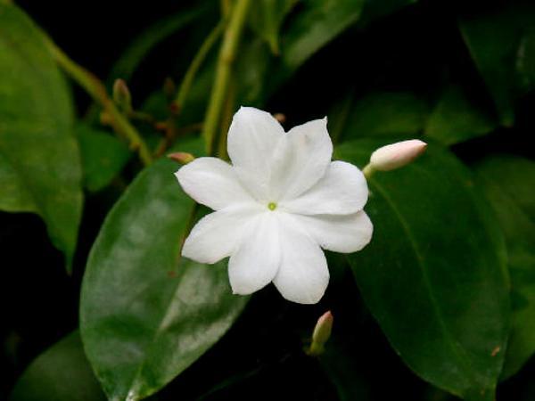 Jasmine (Jasminum) https://www.sagebud.com/jasmine-jasminum