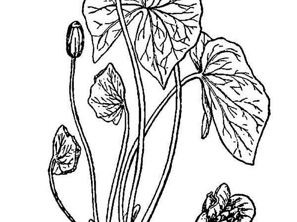Twinleaf (Jeffersonia Diphylla) https://www.sagebud.com/twinleaf-jeffersonia-diphylla