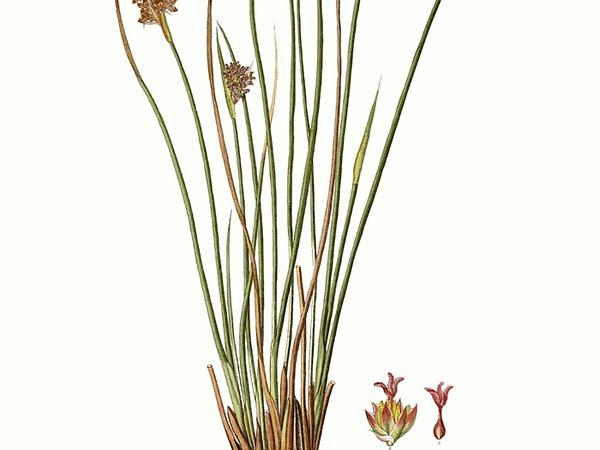 Spiny Rush (Juncus Acutus) https://www.sagebud.com/spiny-rush-juncus-acutus