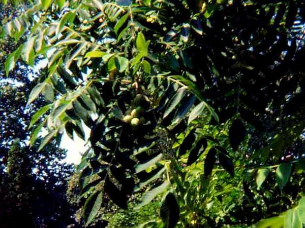 Japanese Walnut (Juglans Ailantifolia) https://www.sagebud.com/japanese-walnut-juglans-ailantifolia/
