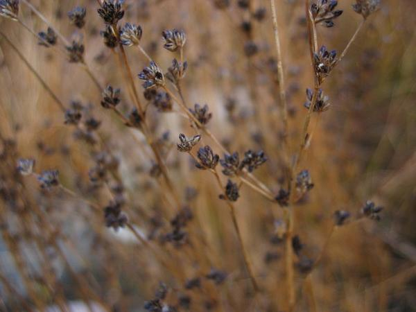 Jointleaf Rush (Juncus Articulatus) https://www.sagebud.com/jointleaf-rush-juncus-articulatus
