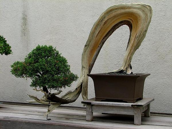 California Juniper (Juniperus Californica) https://www.sagebud.com/california-juniper-juniperus-californica