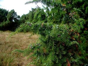 Common Juniper