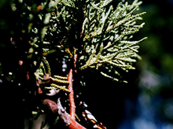 Alligator Juniper (Juniperus Deppeana) https://www.sagebud.com/alligator-juniper-juniperus-deppeana