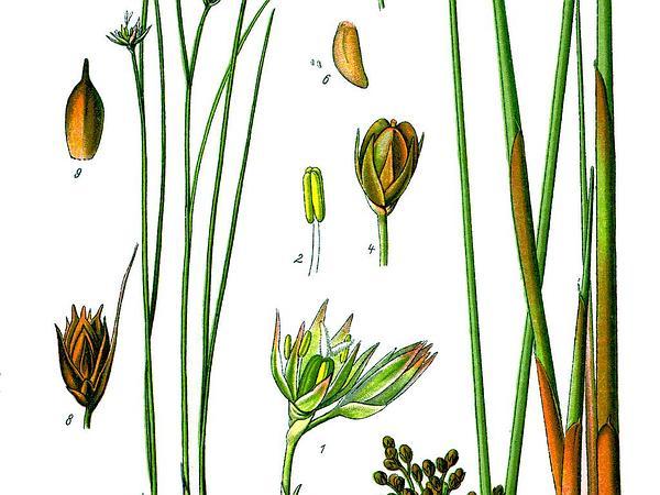 Common Rush (Juncus Effusus) https://www.sagebud.com/common-rush-juncus-effusus/