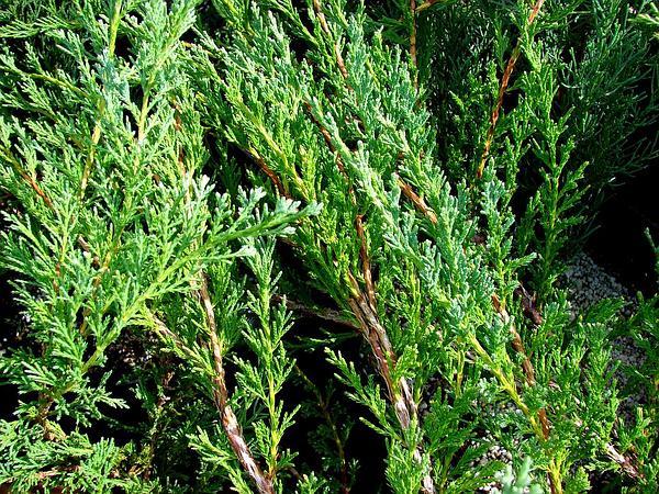Creeping Juniper (Juniperus Horizontalis) https://www.sagebud.com/creeping-juniper-juniperus-horizontalis/