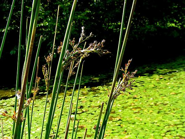European Meadow Rush (Juncus Inflexus) https://www.sagebud.com/european-meadow-rush-juncus-inflexus