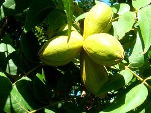 Arizona Walnut