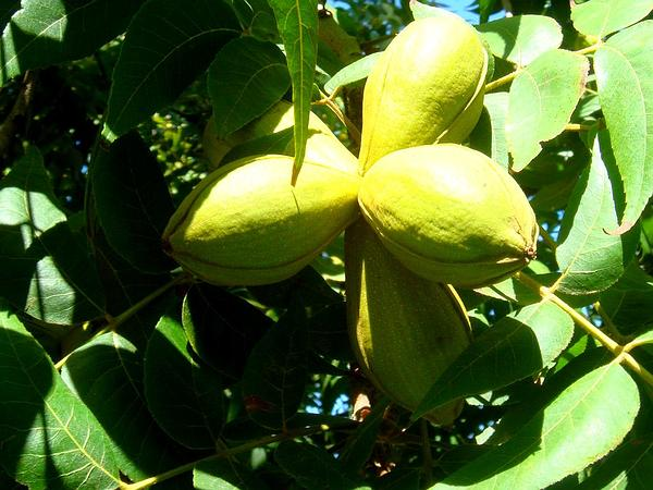 Arizona Walnut (Juglans Major) https://www.sagebud.com/arizona-walnut-juglans-major/