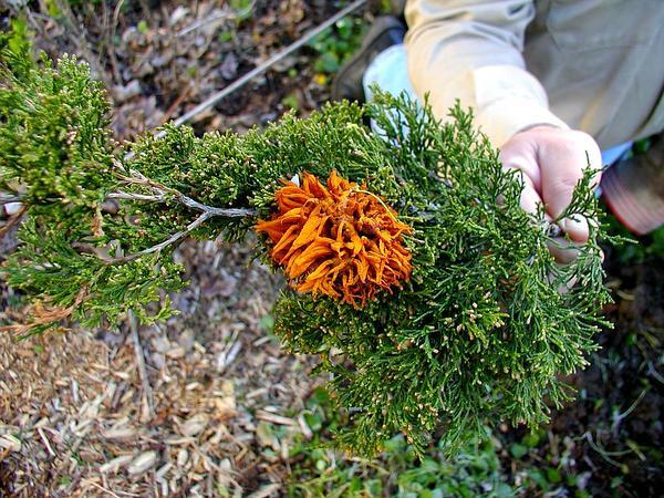 Juniper (Juniperus) https://www.sagebud.com/juniper-juniperus/