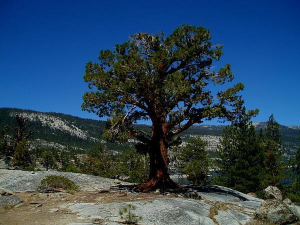 Western Juniper (Juniperus Occidentalis) https://www.sagebud.com/western-juniper-juniperus-occidentalis